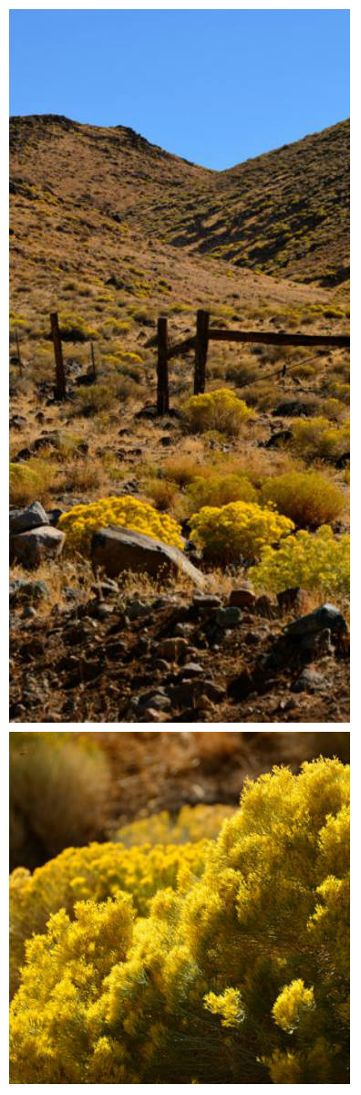 rabbit brush in reno nevada hills