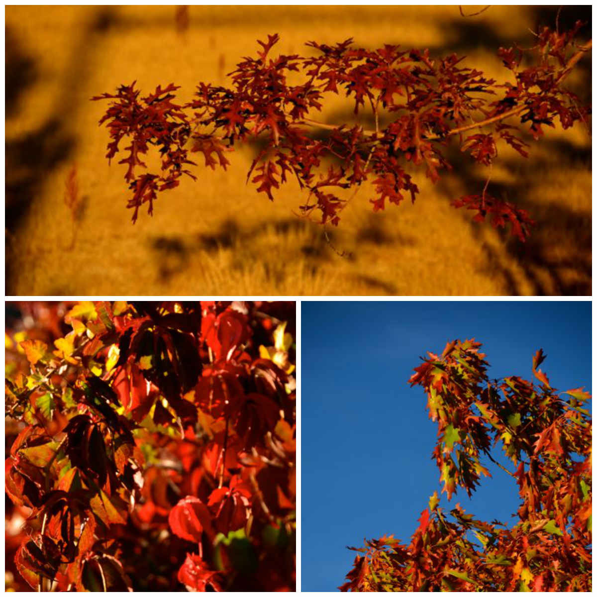 red leaves in reno nevada autumn