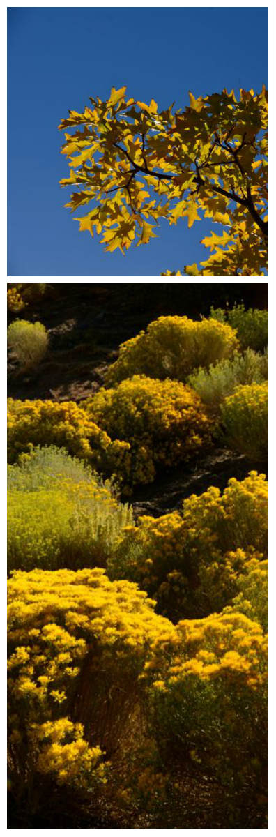 yellow leaves and rabbit brush in high desert