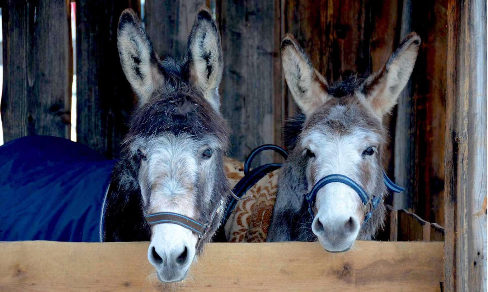 A pair of donkeys, standing in a stable in Oberammergau, Germany, look directly at the camera.