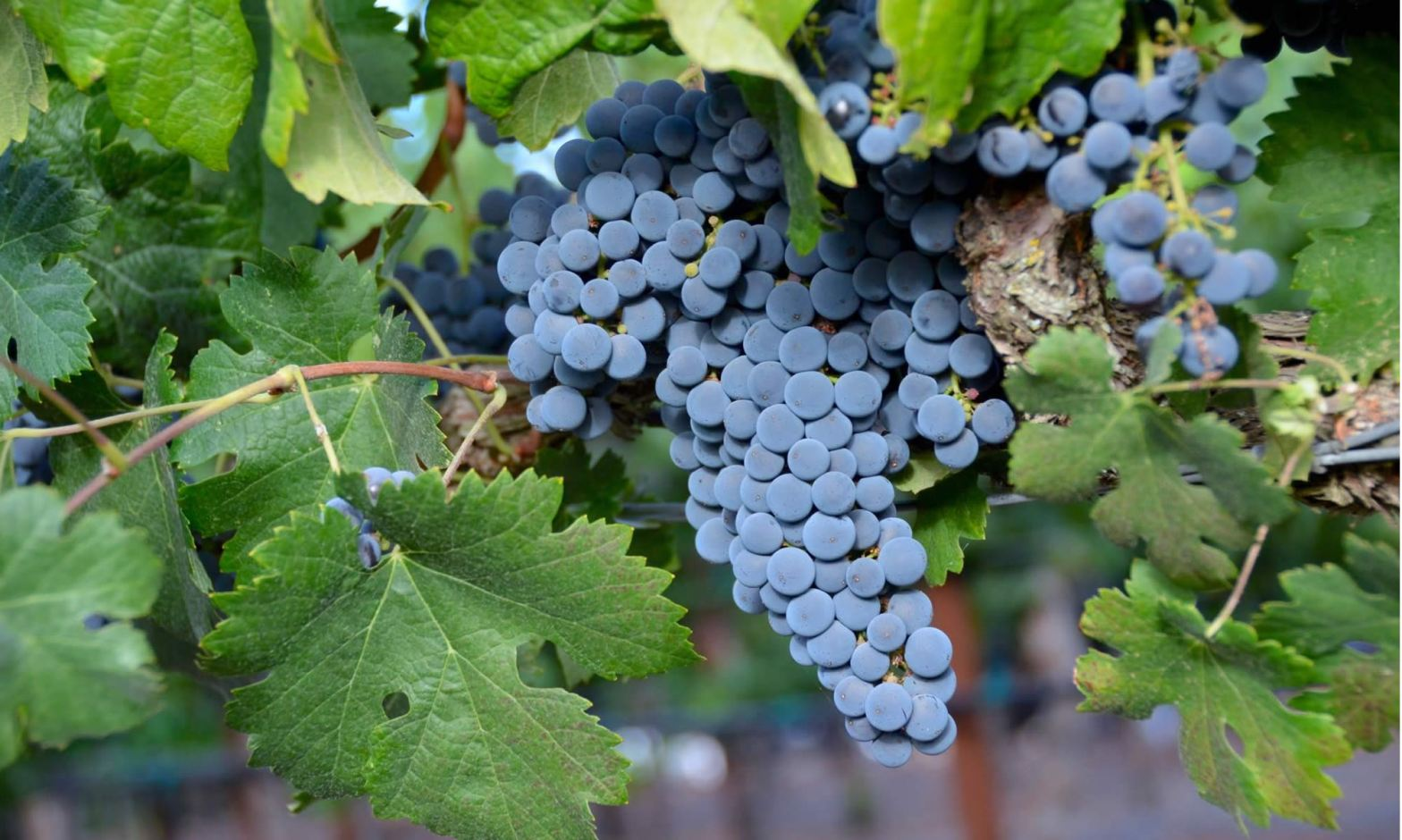 A bunch of purple grapes cling to the vine in Napa wine country, California.