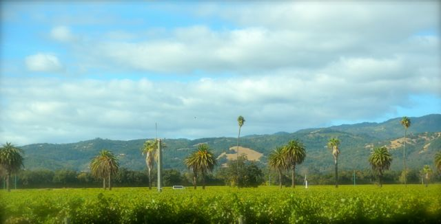 Palm trees tower over vineyards in California's Napa Valley.