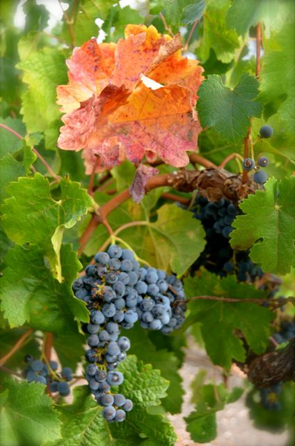 A cluster of grapes hangs on the vine, underneath a reddish-yellow leaf, in Napa Valley.
