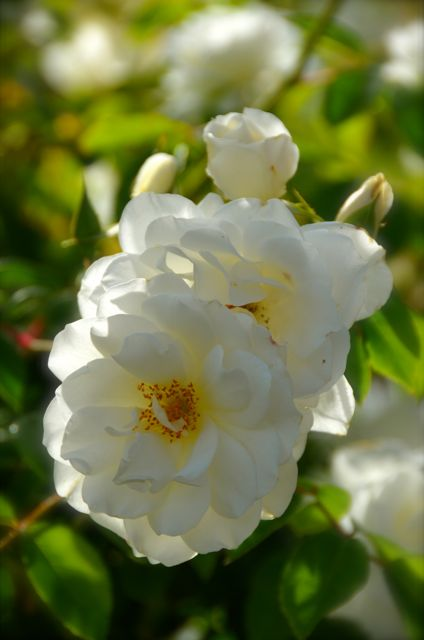 White roses at Ledson Winery.