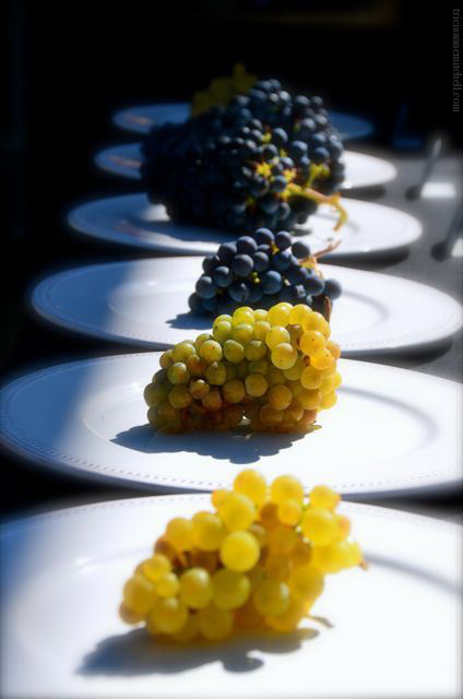 Clusters of white and red grapes on display at the Black Stallion Winery.