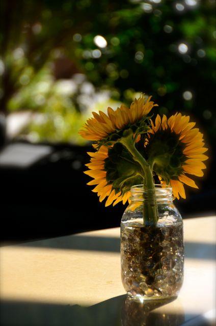Sunflowers in a glass jar in California.