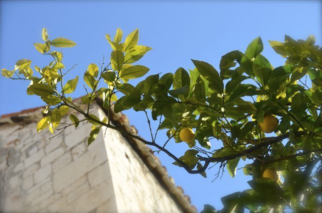 lemons growing on branch in front of stone Croatian home