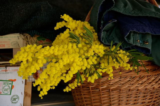 Mimosa flowers in Croatia in wicker basket