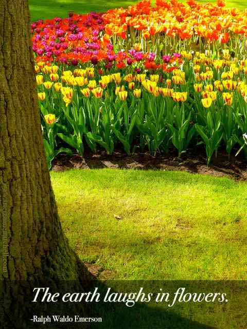 holland tulips, green grass and tree trunk, Keukenhof Gardens