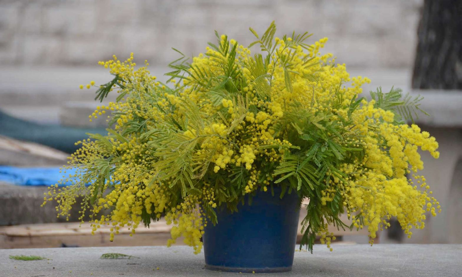 A blue bucket filled with yellow mimosa flowers sits at a fresh market in Croatia. The flower is associated with International Women's Day celebrations.