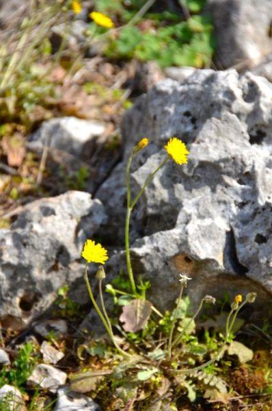 yellow flowers in countryside in croatia