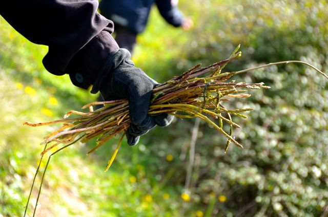 wild asparagus in croatia
