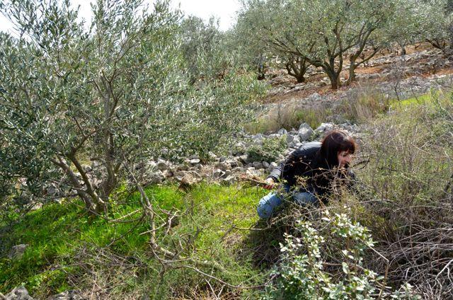 picking asparagus in croatia