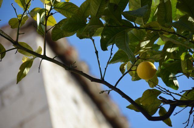 lemon tree in Croatia