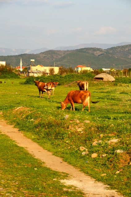 Cows grazing, with the bunker and a mosque in the background. The locals are a blend of Catholics and Muslims.
