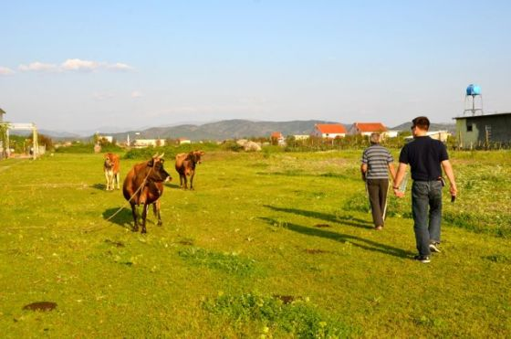 cows in albanian countryside