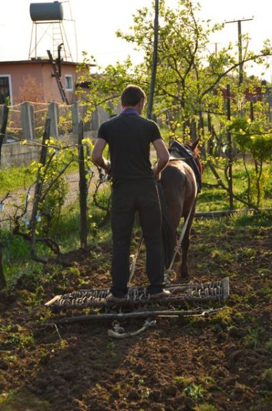 Our albanian guesthouse neighbor plowing his front yard using traditional methods.