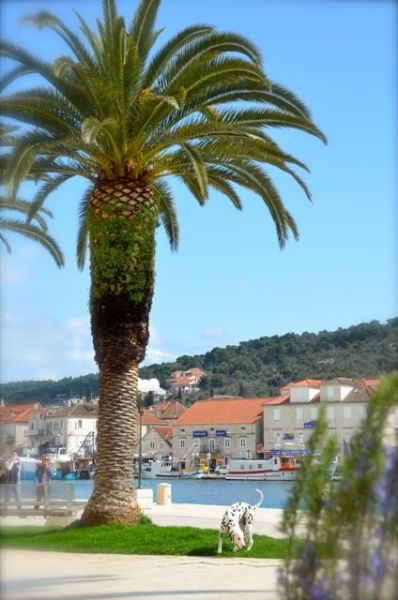 palm tree and dalmatian along trogir's seaside promenade pizzeria mirkec