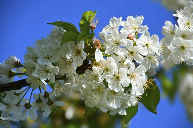 A fruit tree blossoms in the family's orchard. The family produces 90% of their own food.