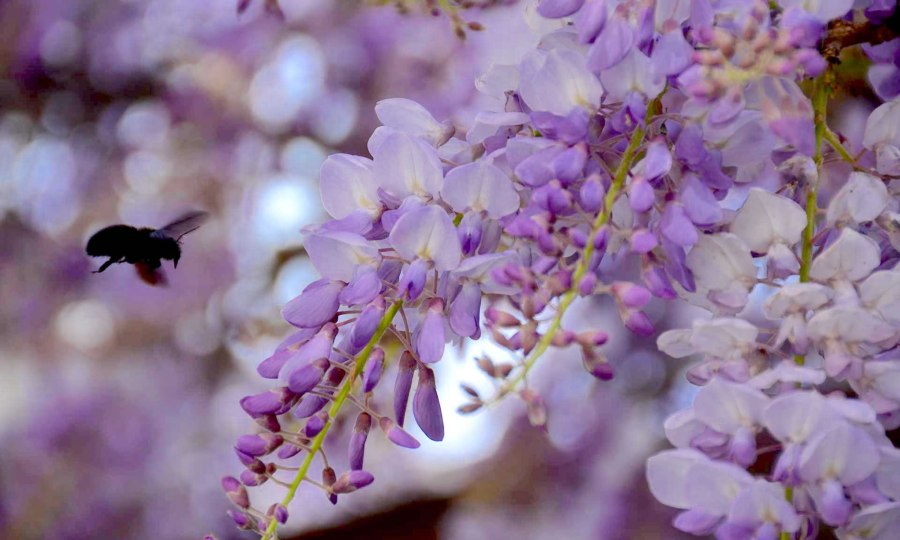A bee approaches a branch of purple wisteria flowers, in Perast, Montenegro.