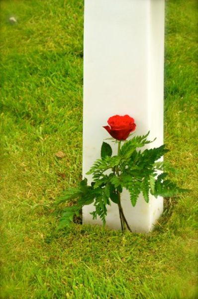 rose at american military cemetery 2013