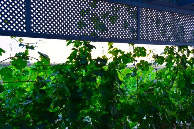 Santorini wine tasting Greek wine74