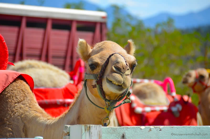 Virginia City Camel