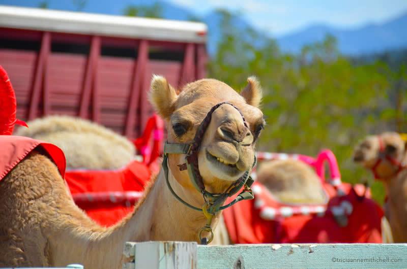 Virginia City Camel