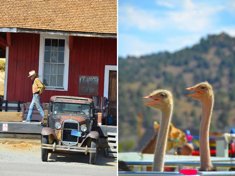 Virginia City ostriches