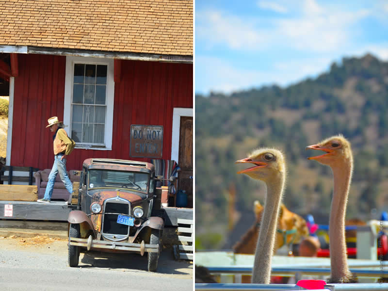 Virginia City ostriches