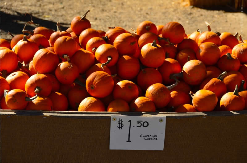 Pumpkin Farm California 5