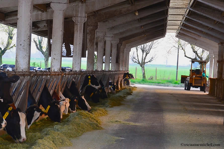 Parmigiano-Reggiano Cheese Farm Modena Italy