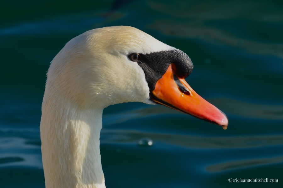 Sibenik Croatia Swan