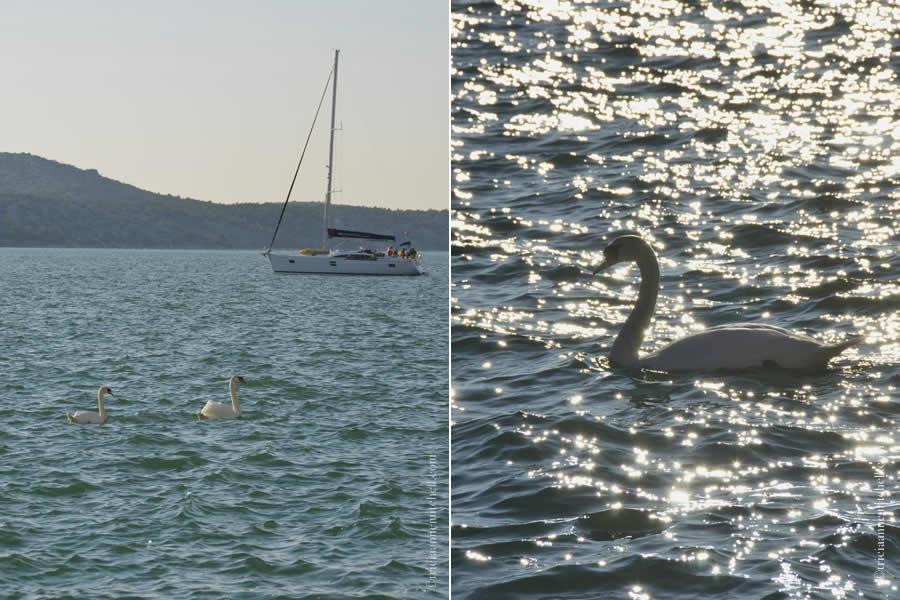 Sibenik Swans Croatia