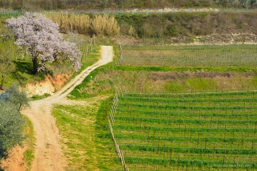 Valpolicella Vineyard Verona Italy