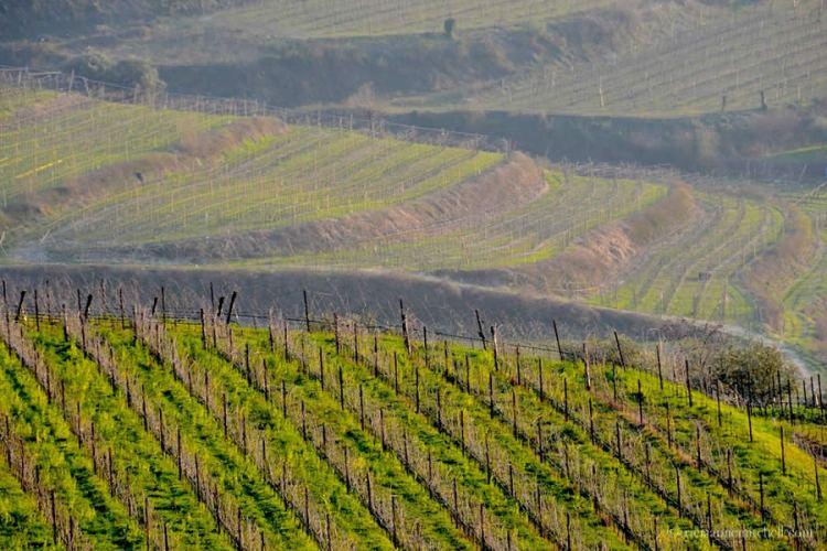 Valpolicella Vineyards Verona Italy