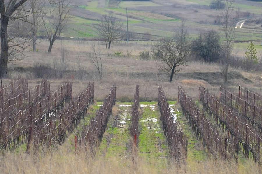 Krolo Winery Vineyard