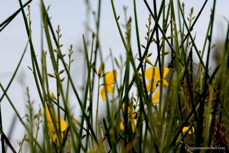Marjan Split Croatia Aspalathos Flower
