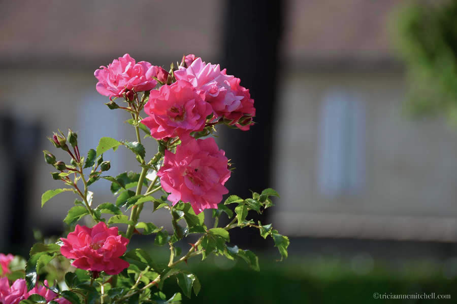 Roses in Bordeaux France
