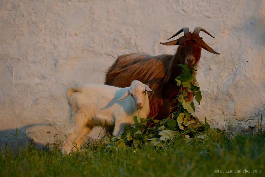 Goats eating Kalofer Bulgaria