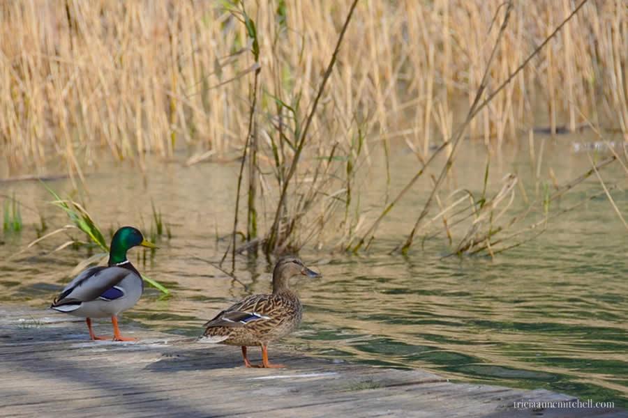 Krka National Park Croatia mallard ducks