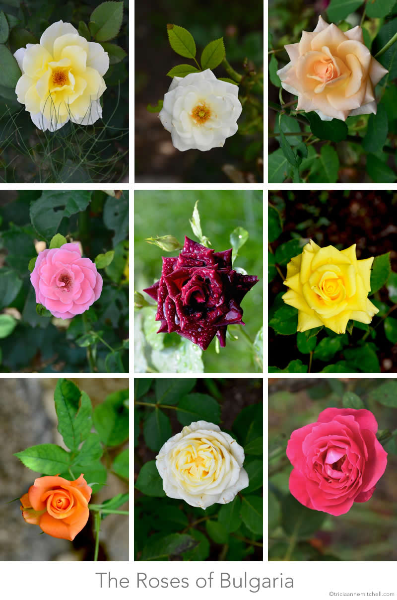 Roses Bulgaria