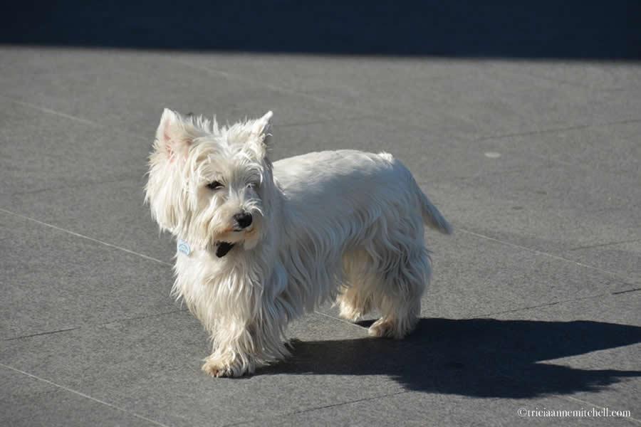 West Highland White Terrier Bilbao
