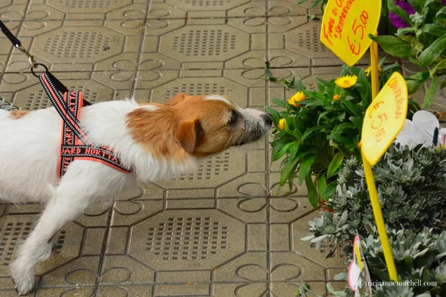 Dog smelling flowers Mercato Albinelli Modena