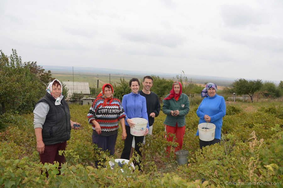 People harvest grapes, using plastic buckets, in a vineyard in Moldova.