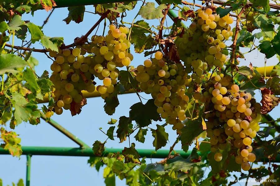 Moldova Grape Harvest