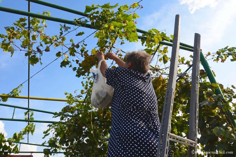 Moldova Harvesting Grapes Home