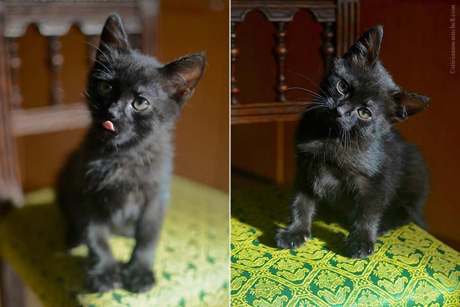 Cocoa Kitten