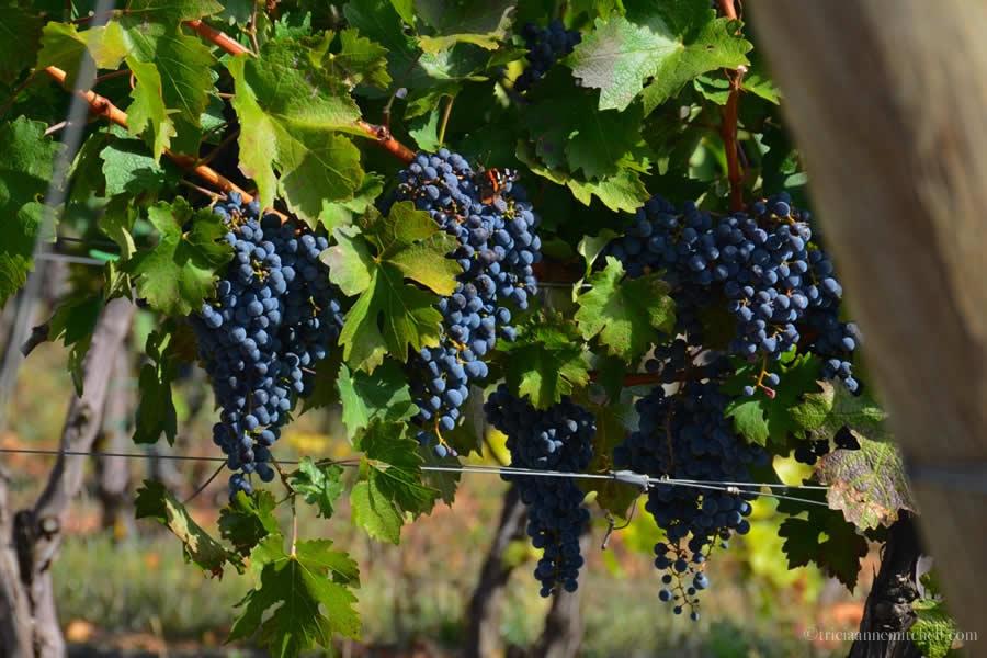 Et Cetera Winery Grapes Moldova
