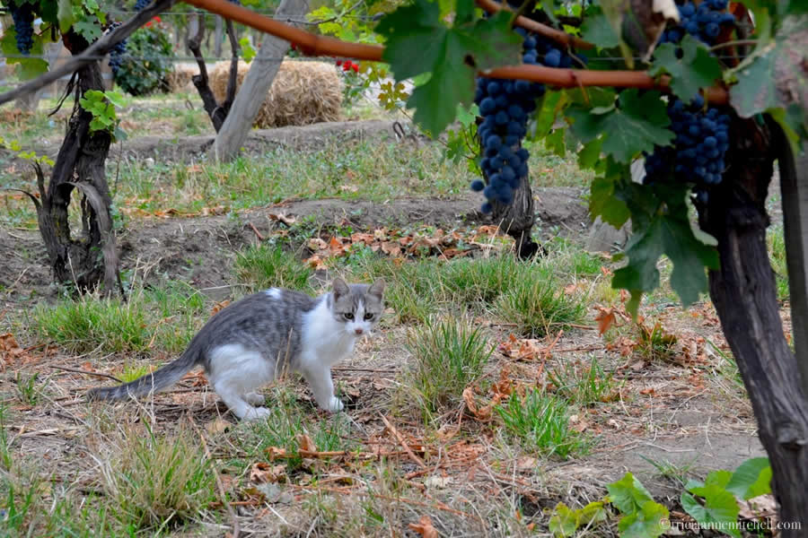 Thom the Cat Vineyard